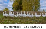 White Domestic Geese In The...