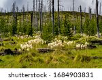 Xerophyllum Tenax  Common Name...