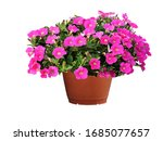 Petunias  Colorful Flowers In...