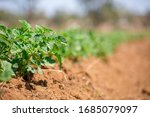 Small photo of Upshoot of greens in a field in Com, Nigeria