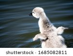 Baby Swan With Wings...