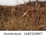 Golden Prairie Grasses Blowing...