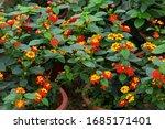 Verbena Blossom. Orange Yellow...