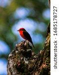 "Beautiful red bird, known as ""Petirrojo"" [Pyrocephalus rubinus]. This specimen is a male."