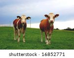 Two cows standing on a meadow - stock photo