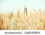 summer field with golden wheat | Shutterstock . vector #168545891