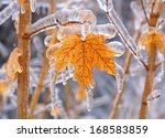 Maple Tree Encased In Ice With...