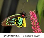 Queen Alexandra\'s Birdwing...