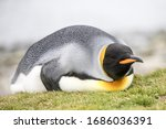 King Penguin Resting On Ground