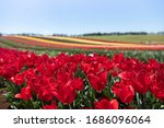 Blooming Colourful Tulips Fiel...