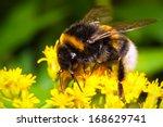 Macro Photo Of Nice Bumblebee...