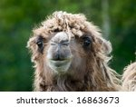 close up of a camel  camelus... | Shutterstock . vector #16863673