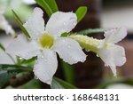 White Azalea Flower With Water...