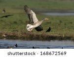 greylag goose  anser anser ...   Shutterstock . vector #168672569