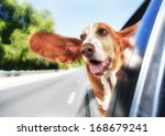 Stock photo a basset hound in a car 168679241