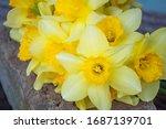 Daffodils Lie On A Stone....