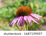 One Pink Echinacea Flower Clos...
