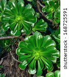 Small photo of Splendid rosettes with green leaves of aeonium undulatum, endemic wild plant of Canary islands