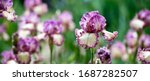 Banner. Colorful Irises In The...