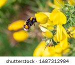 A Buff Tailed Bumblebee  Bombus ...