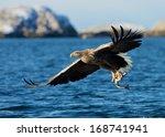 White Tailed Sea Eagle ...