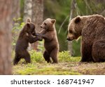 Eurasian Brown Bear  Ursos...