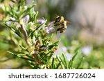 Isolated Specimen Of Bumblebee  ...