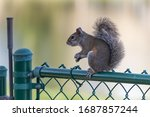 Eastern Gray Squirrel Genus...