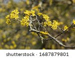 Flowering Dogwood Branches....