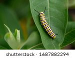 Monarch Caterpillar On Milkwee...