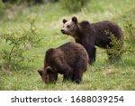 Two Cute Brown Bear  Ursus...