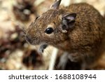 Little Cute Gray Mouse Degou...