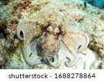 Small photo of Common Octopus Using a network of pigment cells and specialized muscles in its skin, this invertebrate can almost instantaneously match the colors, patterns, and even textures of its surroundings