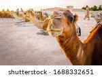 Small photo of Camel caravan rest in desert. Camels rest. Camel portrait