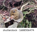 Close Up Of Fox Squirrel Eating ...