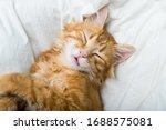 funny ginger cat sleeping at...   Shutterstock . vector #1688575081