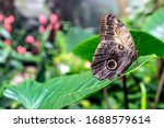 A Giant Forest Owl Butterfly ...