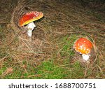 Two Red White Spotted Amanita...