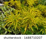 Euodia Is A Plant Genus In The...