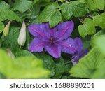 Purple Clematis Flower Petals...