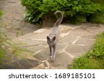 A Grey Cat With A Curved And...