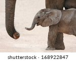 Stock photo cute baby african elephant reaching out with it s trunk to it s mother 168922847