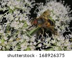 Small photo of Hoverfly - Eristalis pertinax With Grass fly, Chlorops hypostigma