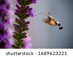 The Elusive Hummingbird Moth...