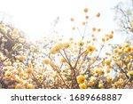 Yellow flowers of oriental...