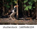 Image Of Asian Pied Myna Bird...