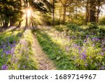 Amazing Bluebell Forest With...