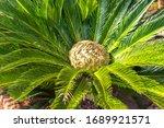 Cycas Revoluta  Female Palm...