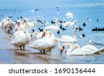 White Swan Flock On Shore....