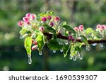 Apple Tree Blossoms With Frost...